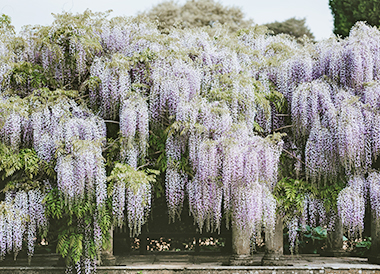 wisteria in florence