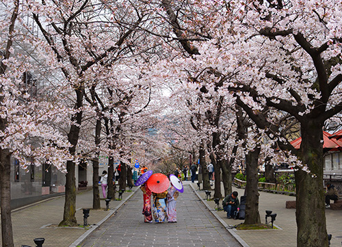 street with overhanging cherry blossom in kyoto