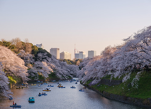 river in tokyo surrounded by banks of cherry blossom